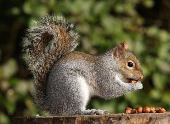 Több kárt okoznak a mókusok a hackereknél